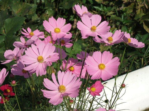 ピンクのコスモス.jpg